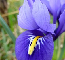mini-iris-a