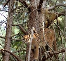 072403 Cougar Katrina 07