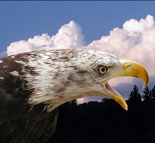 102903 Bald Eagle Defiance 42d