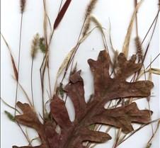 oakgrass