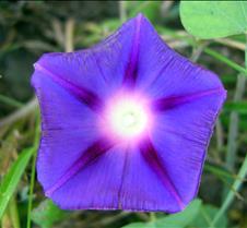 brightpurplemorningglory