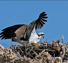 Osprey at Mono Lake