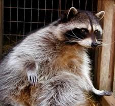 031904 Raccoon Ruby 17
