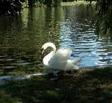 boston swan
