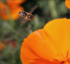 Bees & Poppies 2