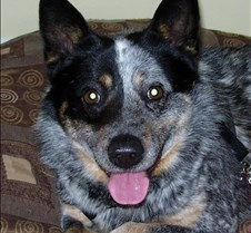 Bodey - Our Australian Cattle Dog Foster