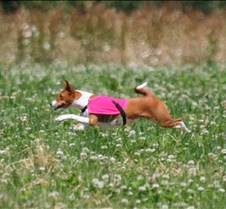 Basenji_7_July_Run1_Course2_3696CR
