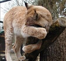 120404 Eurasian Lynx Nikki 40