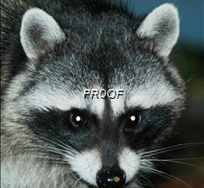 RACOONS Racoons