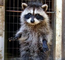071603 Raccoon juv 24