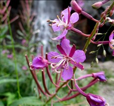 Fireweed and Falls