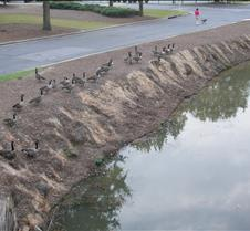Gabe feeding geese
