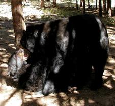 071603 Black bears 09(1)