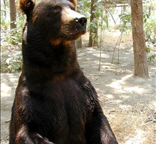 072402 Kodiak Bear Male 23