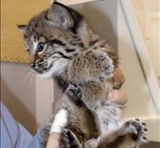 091102 Bobcat Kitten 36