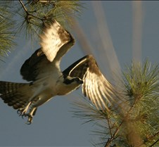 Osprey 8