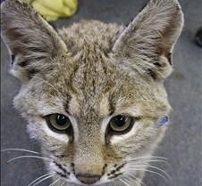 091102 Bobcat Kitten 59