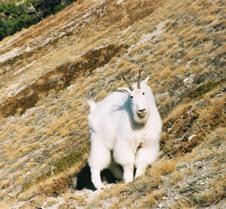 alpine ambush