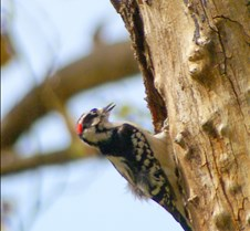 woodpecker close-up(1)