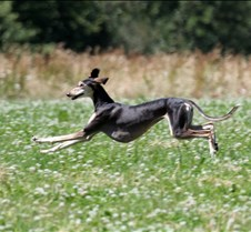 Saluki_7_July_Run2_Test_Dog_4173CCR