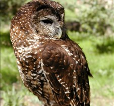031504 Spotted Owl Opal 49