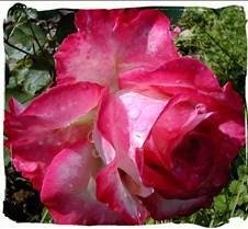 Multi-Color Rose