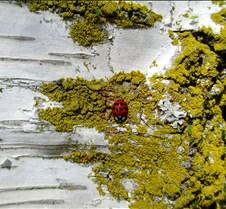 Birch Ladybug