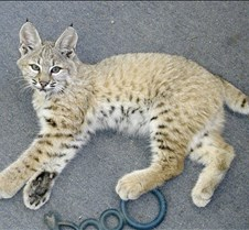 091102 Bobcat Kitten 71