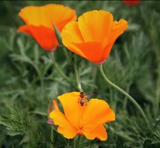 Bees & Poppies 6