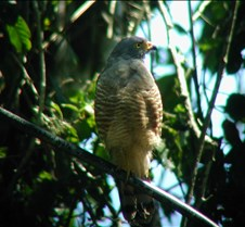 MA_roadside_hawk