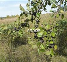 Buckthorn Fruit01 copy