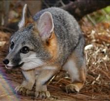 112004 gray fox carson 51