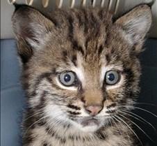 091102 Bobcat Kitten 39