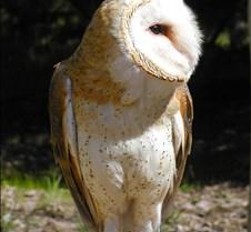 031504 Barn Owl Petrie 64