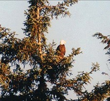 bald eagle juneau