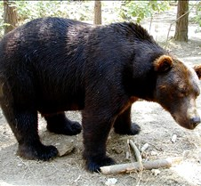 072402 Kodiak Bear Male 25