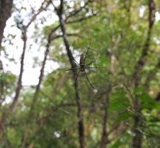 Chaing Mai Spider 17-4-2011
