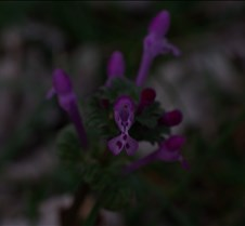 Small purple flower in back yard 3