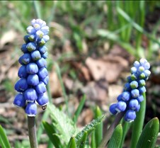 grape hyacinth
