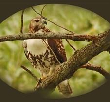 Red-tail_Hawk_juvenile_close_up_frame_