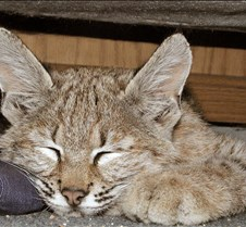 090402 Bobcat Kitten 96