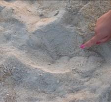 Giant Sea Turtle Tracks