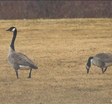 Canada+Geese