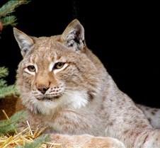 120404 Eurasian Lynx Nikki 59