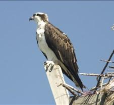 Osprey 12