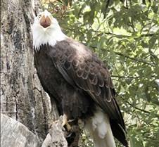 062802 Bald Eagle 15