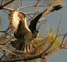 Osprey 15