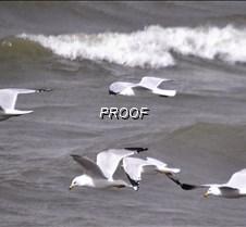 gulls-2