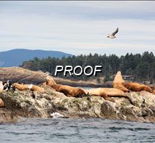 Sea Lions & Seagull