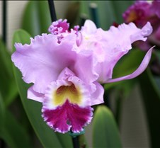 Big Island Orchid Varieties 1
